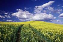 JEggers_WA_JE12675.jpg  Yellow canola in Whitman County Washington state