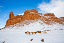TWE_MG_5891-5.jpg  North America; USA, Wyoming; Shell, Big Horn Mountains: Horse Drive Through the Snow in the Big Horn Mountains